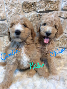 Goldendoodles F1B Family-Raised, No Shed, Service Dog? Adorable