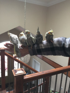 Baby Cockatiels---hand Fed