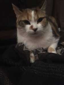Female Calico Cat for Re-homing