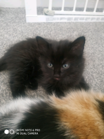 Black Male Kitten **Ready to leave now**