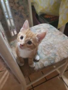 2 orange male furry fluffy kittens!!