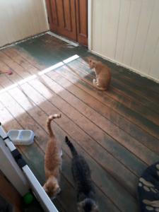 2 Female Ginger Kittens