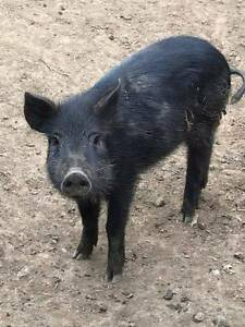 Male Piglet Honeywood Brighton Area Preview