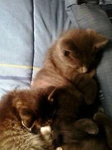 Kittens Stratford Kitchener Area image 4