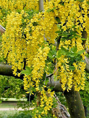 GOLDEN CHAIN TREE *62 SEEDS, HARDY, PRETTY CASCADING YELLOW FLOWERS, SMALL TREE