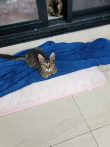 Free Tabby Kitten