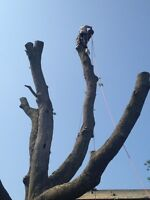Professional tree services !!!! Ash tree removals