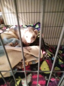 3 ferrets (two white albino females and one brown male) for sale