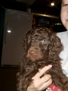 AUSSIEDOODLE F1B PUPPIES (like goldendoodles)