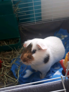 3 Male Guinea Pigs For Free