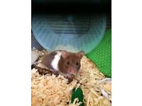 8 month old male hamster with cage