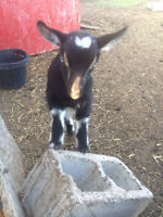 2 super cuddly and friendly pygmy goats  left for sale