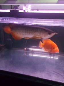 90 gallon tank  + hi back gold arowana