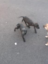 Patterdale+border terrier