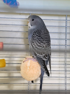 Four Budgies for Sale