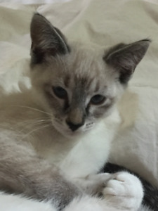 Siamese cross Ragdoll kitten - female