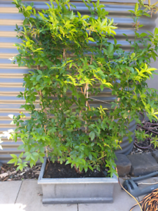 Mature banksia roses in large pot.