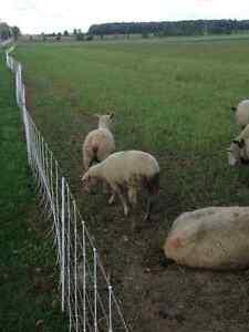 Bred ewe lambs Stratford Kitchener Area image 3