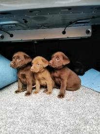 Labrador puppies puppy