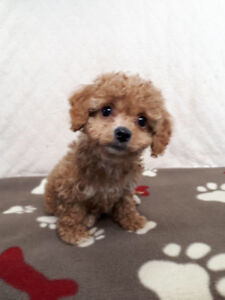 Cockapoo puppies (Cocker Spaniel X Toy Poodle) Best dog for kids