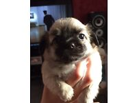 Chihuahua pupoies