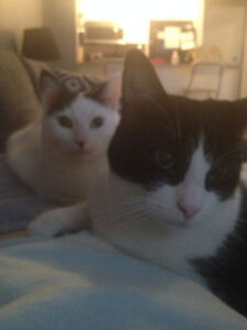 FOREVER HOME for 2 Black & White Neutered Male Cats 3-5 yrs old