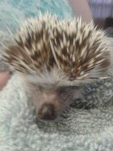 1.5 yr old male hedge hog