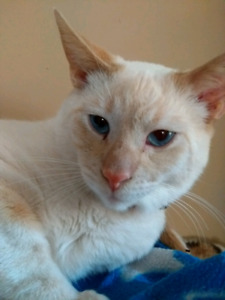 Red or Flame Point Siamese for adoption