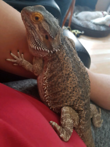 Rehoming  beardy dragon