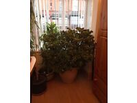 HUGE MONEY PLANT 64 YEARS OLD