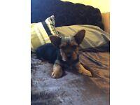Yorkshire Terrier Puppy Boy