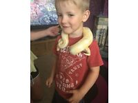 Female Albino royal python