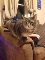 Neutered male grey and white cat for adoption