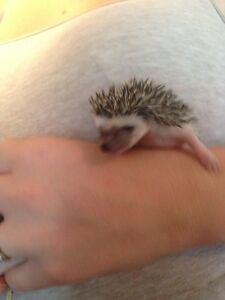 Female & Male Hedgehogs Available  Kawartha Lakes Peterborough Area image 2