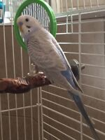 blue male budgie in easy clean cage.