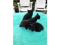 Fluffy black Kittens for sale!!!!
