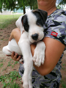 Dogo Argentino | Adopt Dogs & Puppies Locally in Canada