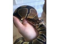 Male royal/ball python