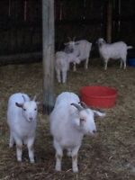 Bred nanny goats and Billy for sale