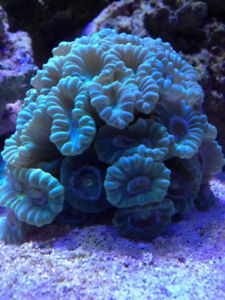 Blue Trumpet Coral - Candy Cane Coral