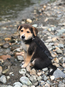 Puppies For Sale Near Me Craigslist