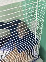 2 dumbo rats