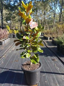 Magnolia Trees Plants Gumtree Australia Free Local Classifieds