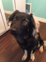 MALE COLLIE CROSS - SOHR RESCUE - TUCKER
