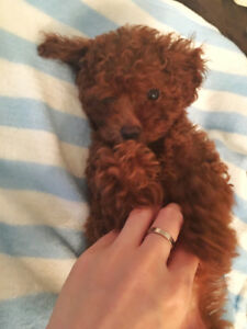 Home raise female toy poodle ready to go home