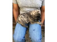 Beautiful Presa canario pedigree puppies for sale