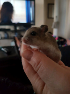 Chinese dwarf hamster with cage and food