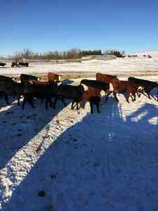 60 Bred Heifers Red White face and Black White Face