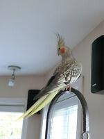 Cockatiel perlé avec cage tout équipée