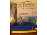 Free budgie and cage